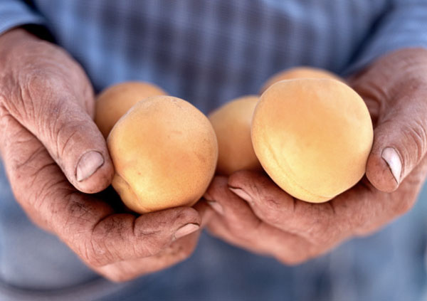 Hands, Yakima peaches, blue shirt